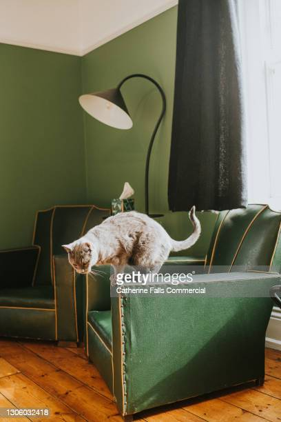 grey cat balancing on the arm of a green armchair - pure bred cat stock pictures, royalty-free photos & images