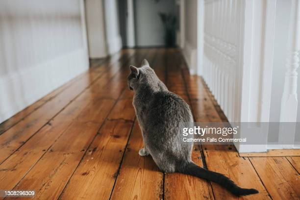 grey cat in a long hallway faces away from the camera - pure bred cat stock pictures, royalty-free photos & images