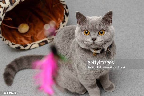 a grey cat looking at a toy - cat's toy stock pictures, royalty-free photos & images