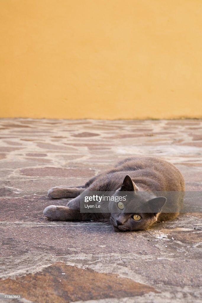 A grey cat on the streets of Burano, a small island near Venice, Italy.  July, 2006. : Photo