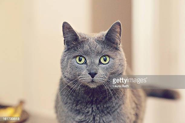 grey cat - russian blue cat stock pictures, royalty-free photos & images