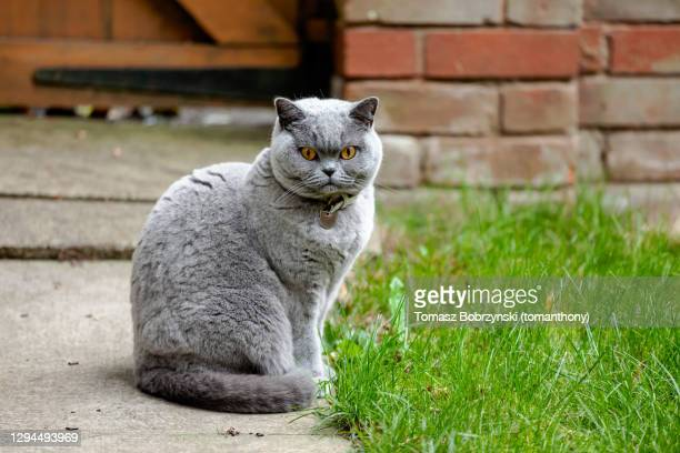 a grey cat sitting in the backyard - british shorthair cat stock pictures, royalty-free photos & images