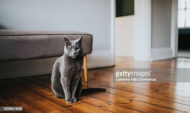 grey cat sitting on a wooden floor looking directly at camera - owner stock pictures, royalty-free photos & images