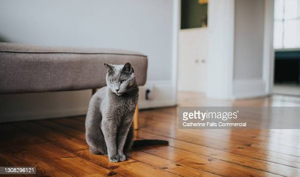 grey cat sitting on a wooden floor looking directly at camera - pure bred cat stock pictures, royalty-free photos & images