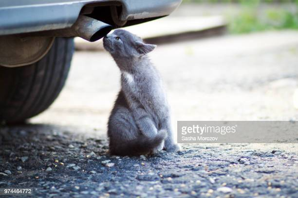 grey cat smelling exhaust pipe - sasha gray stock photos and pictures