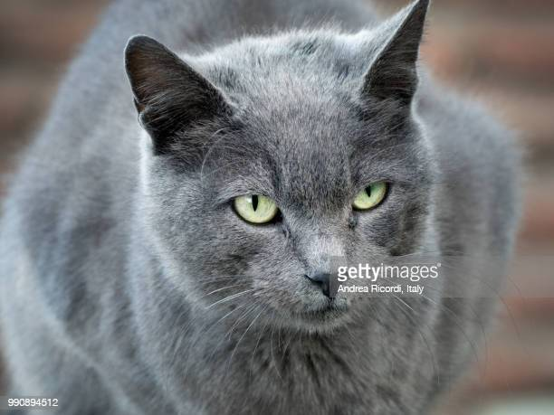 grey cat with intense green eyes - russian blue cat stock pictures, royalty-free photos & images