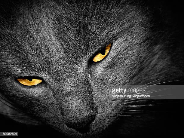 Grey cat with yellow eyes, close up