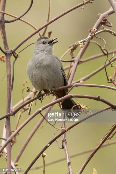 grey catbird - hamiltonmusical stock pictures, royalty-free photos & images