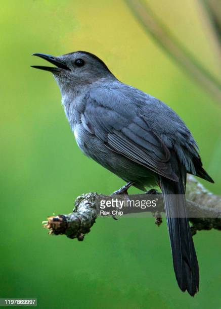 grey catbird - gray catbird stock pictures, royalty-free photos & images
