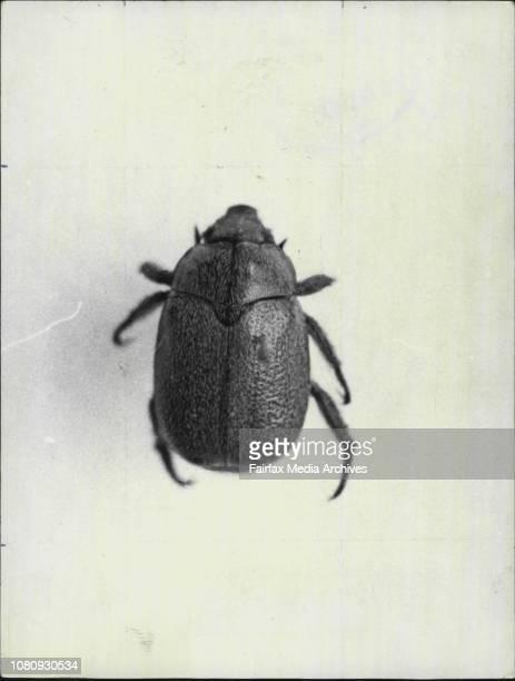 Grey Christmas Beetle October 19 1971