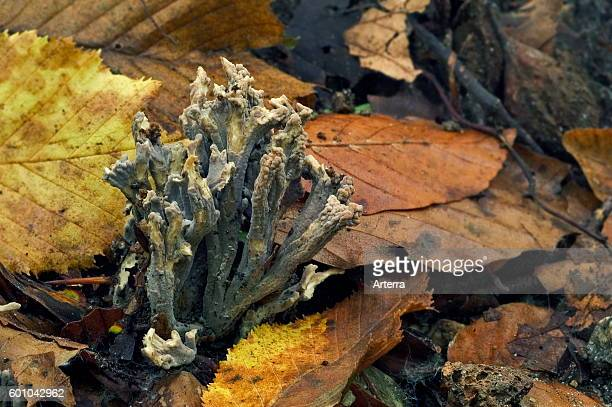 Grey coral among autumn leaves