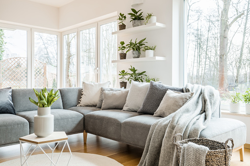 Grey corner couch with pillows and blankets in white living room interior with windows and glass door and fresh tulips on end table 951950894