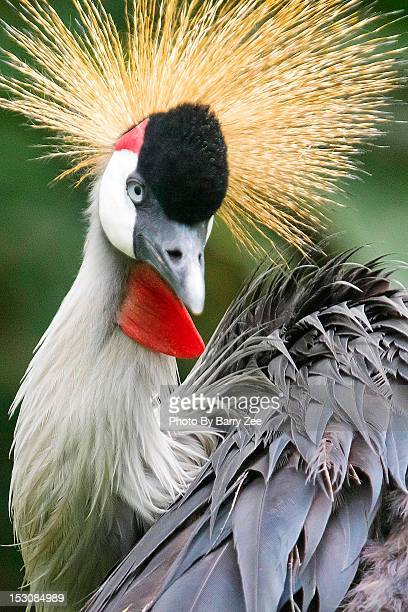 grey crown crane - barry crane stock photos and pictures