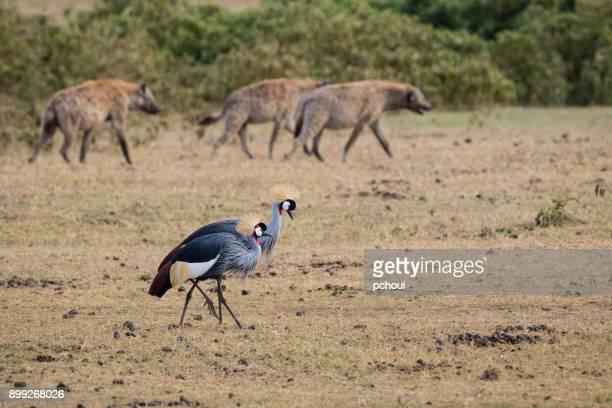 grey crowned crane and hyena, african bird, endangered specie, balearica regulorum - lake nakuru stock photos and pictures