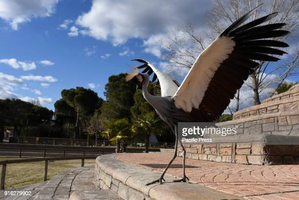 A grey crowned crane pictured during at show at Madrid zoo