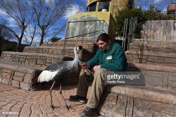 A grey crowned crane pictured with one of its keepers at Madrid zoo