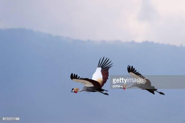 grey crowned cranes in flight, african bird, endangered specie - crane bird stock photos and pictures
