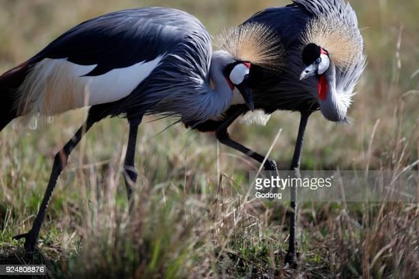 Grey Crowned Cranes Masai Mara game reserve Kenya