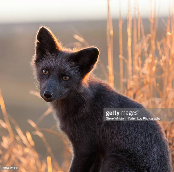 Grey fox at sumset with grass in background