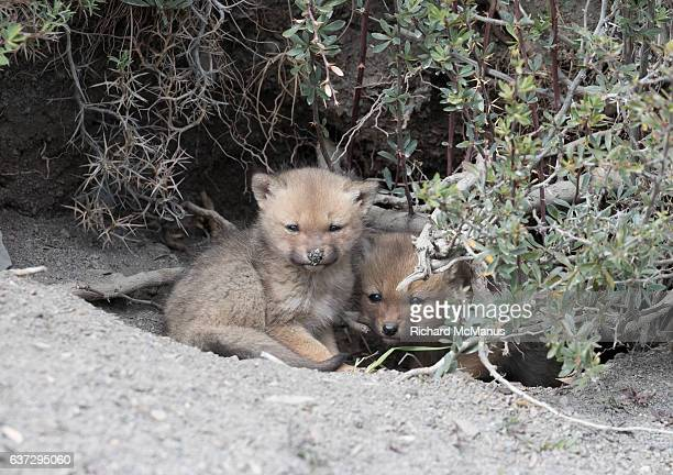 grey fox cubs in torres del paine, chile. - gray fox stock photos and pictures