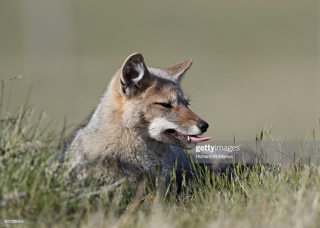 Grey fox in  profile in Torres del Paine, Chile. : Stock Photo