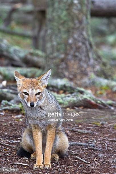 grey fox - gray fox stock photos and pictures