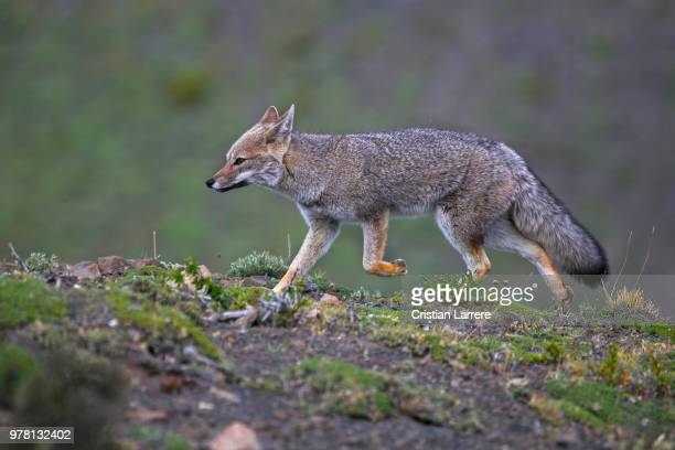 grey fox (urocyon cinereoargenteus) running in wild, cordillera del paine, chile - gray fox stock photos and pictures