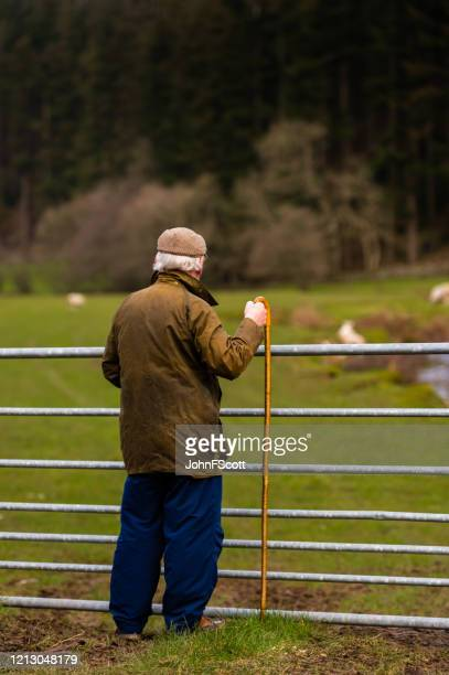 grey haired senior man holding a crook while looking into a field with sheep and lambs - johnfscott stock pictures, royalty-free photos & images