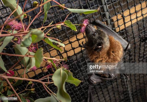 "Grey headed ""flying fox"" bat named Barry, his ears burnt off by bushfire, eats on January 27, 2020 in Bomaderry, Australia. The Shoalhaven Bat Clinic..."
