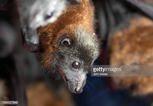 "Grey headed ""flying fox"" bat named Barry, his ears burnt off by bushfire, recovers on January 27, 2020 in Bomaderry, Australia. The Shoalhaven Bat..."