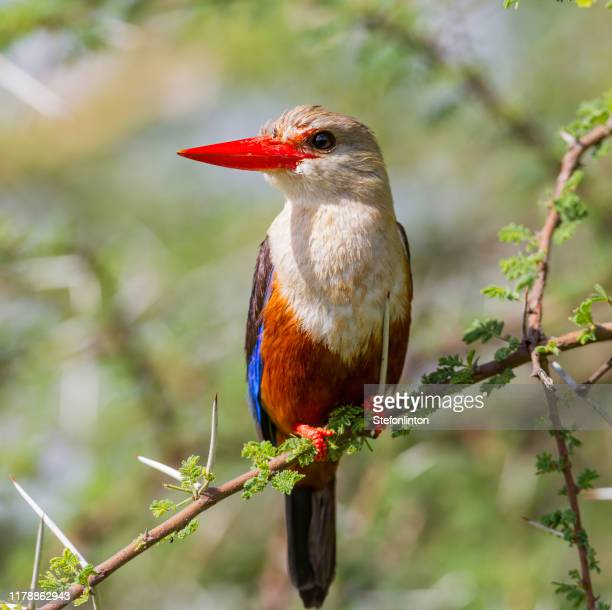 grey headed kingfisher in tree - gray headed kingfisher stock pictures, royalty-free photos & images