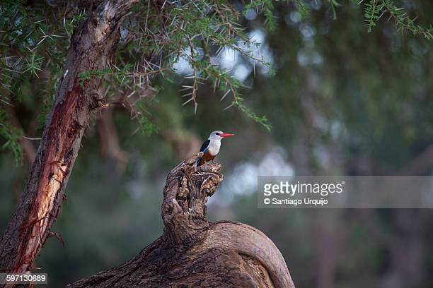 grey headed kingfisher - gray headed kingfisher stock pictures, royalty-free photos & images