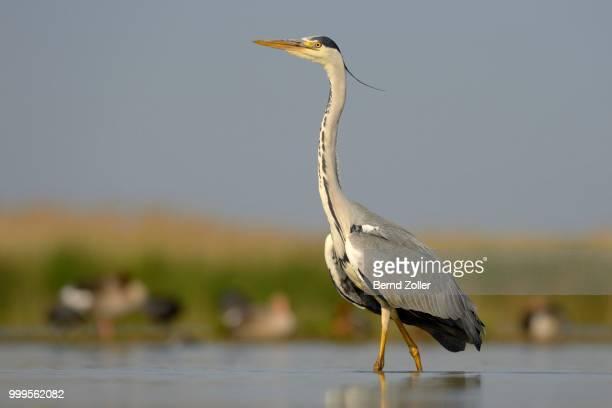 Grey Heron (Ardea cinerea), adult bird foraging for food, Kiskunsag National Park, Southeastern Hungary, Hungary