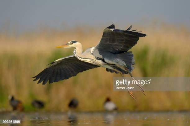 Grey Heron (Ardea cinerea), adult bird in flight, Kiskunsag National Park, Southeastern Hungary, Hungary