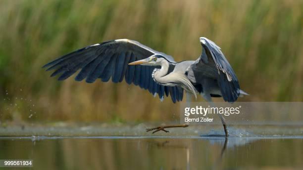 Grey Heron (Ardea cinerea), adult bird taking off, Kiskunsag National Park, Southeastern Hungary, Hungary