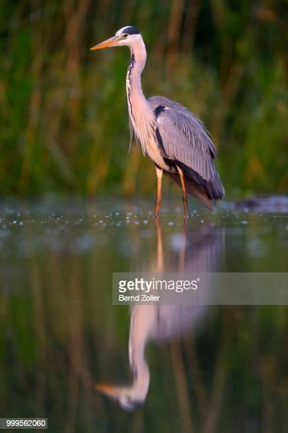 Grey Heron (Ardea cinerea), adult, foraging for food in the morning light, Kiskunsag National Park, Southeastern Hungary, Hungary