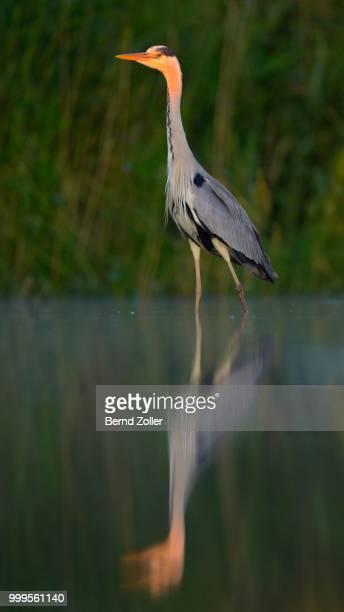 Grey Heron (Ardea cinerea), adult, foraging for food, Kiskunsag National Park, Southeastern Hungary, Hungary