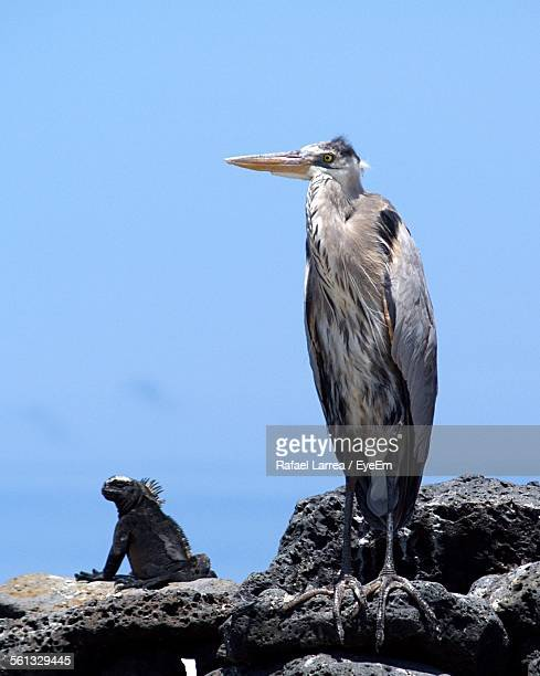 Grey Heron And Iguana On Rock Formation