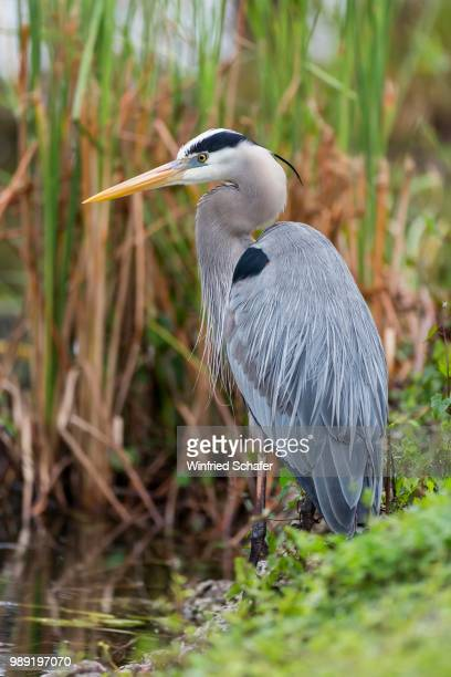grey heron (ardea cinerea), anhinga trail, everglades national park, florida, usa - anhinga_trail stock pictures, royalty-free photos & images