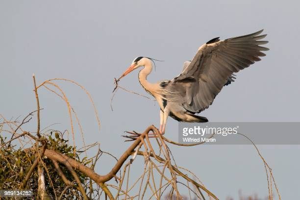 grey heron (ardea cinerea) approaching nest with nesting material, hesse, germany - bec photos et images de collection