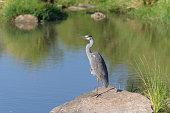 grey heron ardea cinerea masai mara