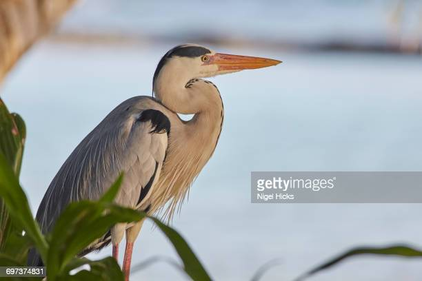 Grey Heron, Ardea cinerea, on Kuramathi Island