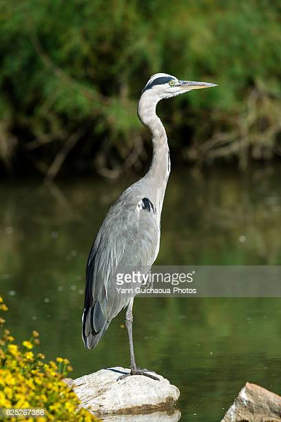 Grey Heron, Ardea cinerea, Park Of Pont de Gau, Camargue, France