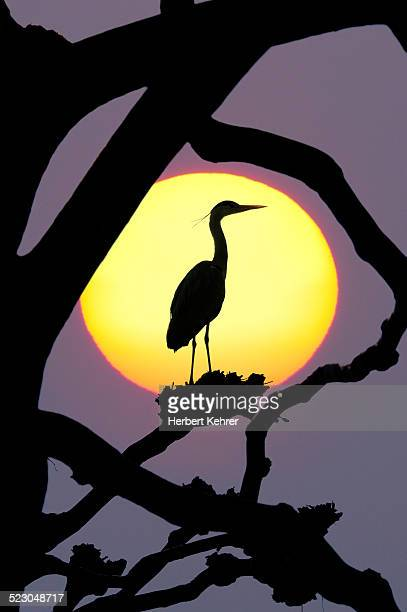 Grey Heron -Ardea cinerea-, silhouetted against the sun, composing