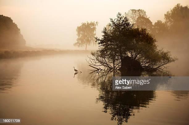a grey heron, ardea cinerea, waits to catch fish on pen ponds. - alex saberi stock pictures, royalty-free photos & images