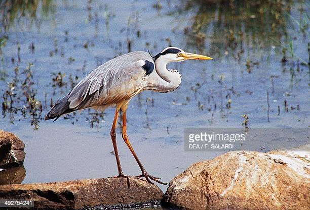 Grey heron Ardeidae