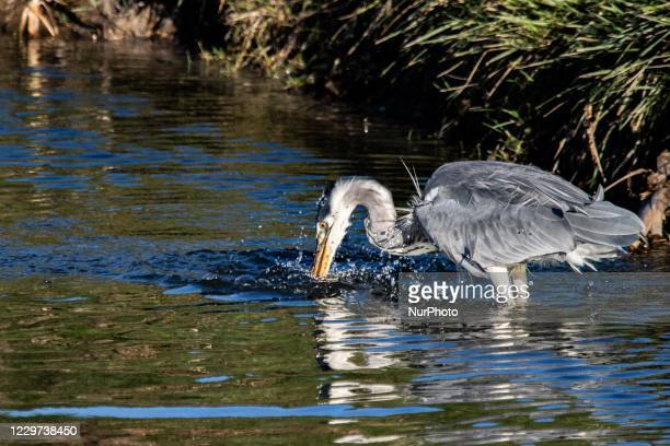 Grey Heron bird - Ardea cinerea, a large common gray heron which normally lives in lakes and rivers, a long-legged predatory wading bird of the heron...