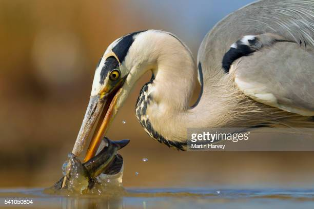 Grey Heron(Ardea cinerea) catching a fish