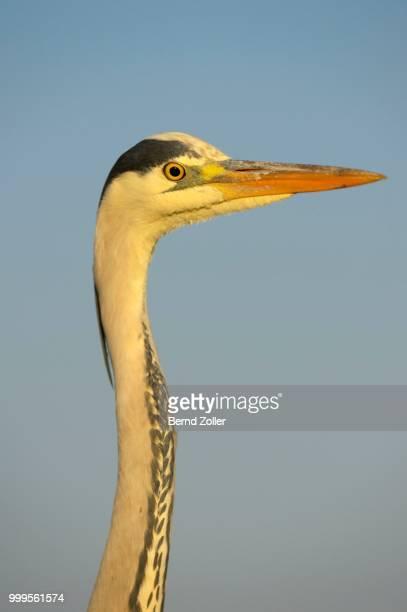 Grey Heron (Ardea cinerea), detail view of an adult bird in the morning light, Kiskunsag National Park, Southeastern Hungary, Hungary