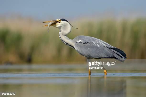 Grey Heron (Ardea cinerea), devouring its prey, Kiskunsag National Park, Southeastern Hungary, Hungary